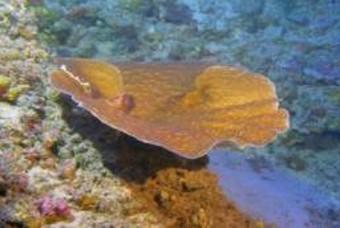세상에서 가장 깊은 곳에 사는 산호 Leptoseris
