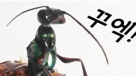 바퀴벌레마저 좀비로 만들어버리는 기생말벌!