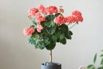꽃 만발한 분홍 쥬이시 체리 감상해 보세요