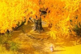가을아 가지마라... 10~11월 은행나무 명소 BEST 10