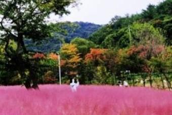 역대급 핑크뮬리! 가을 핫스폿 포천 평강랜드