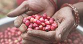 네이버 해피빈 킬리만자로의 커피 깨끗한 물과 청량한 바람 청년농부의 땀이 만든 커피